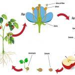 Exemplo do Ciclo de Vida das Angiospermas
