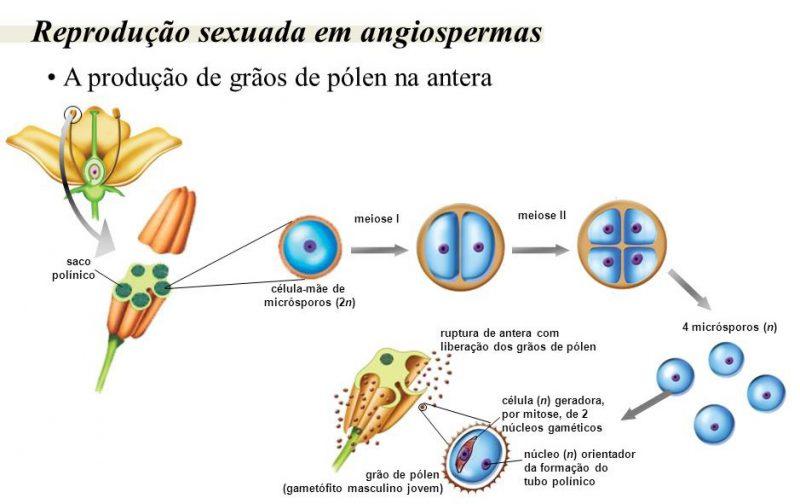 Ciclo reprodutivo das angiospermas: pólen