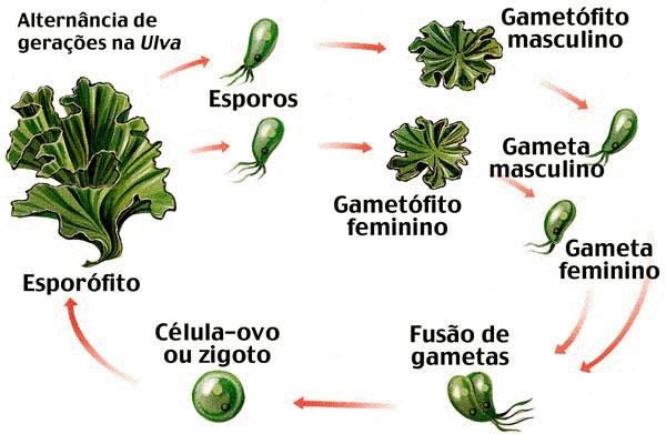 Ciclo reprodutivo das briófitas