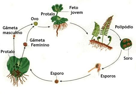 Ciclo reprodutivo das Pteridófitas