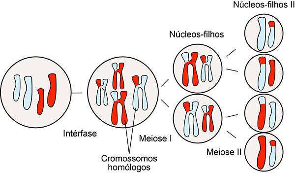 Meiose 2: etapas da divisão celular