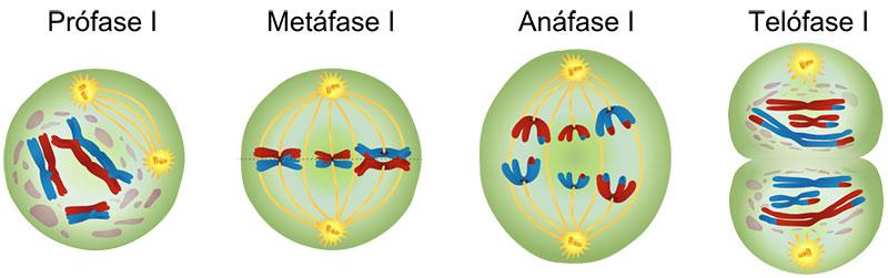 Meiose 1: Fases da Divisão Celular