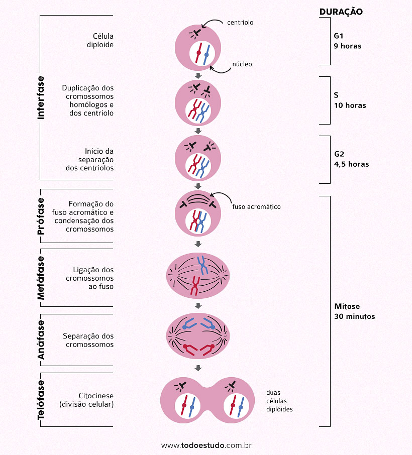 Mitose e Meiose: Fases da Divisão Celular