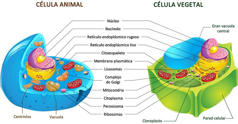 Que Estrutura do Citoplasma Transporta Substância
